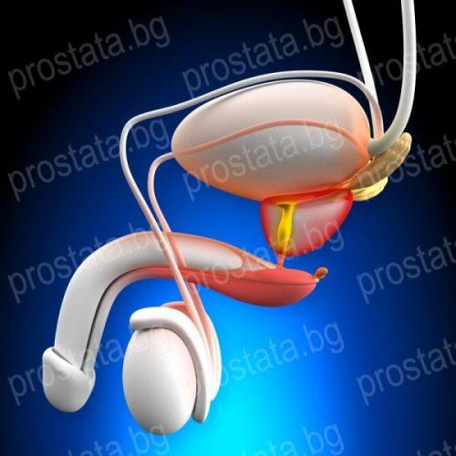 анатомия на простатата